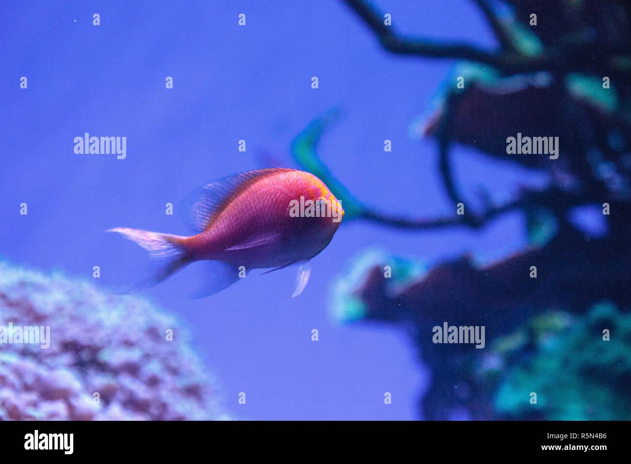 Sunburst anthias fish Serranocirrhitus latus - Stock Image
