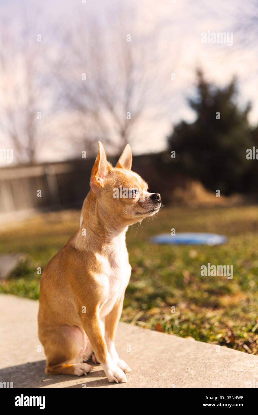 Purebred chihuahua with fawn fur sitting outside in sunlight