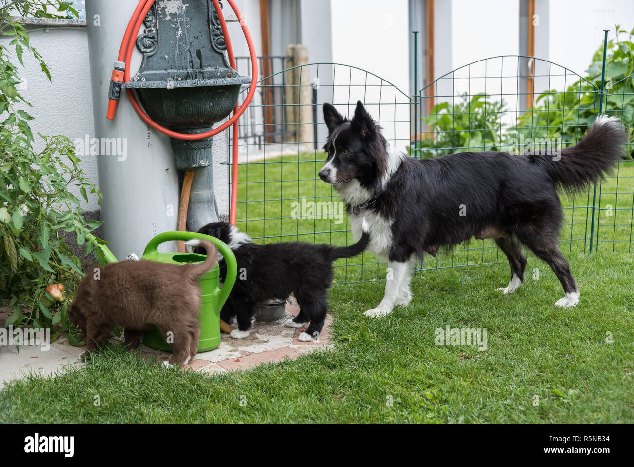 dog puppies with mother in the garden - Stock Image