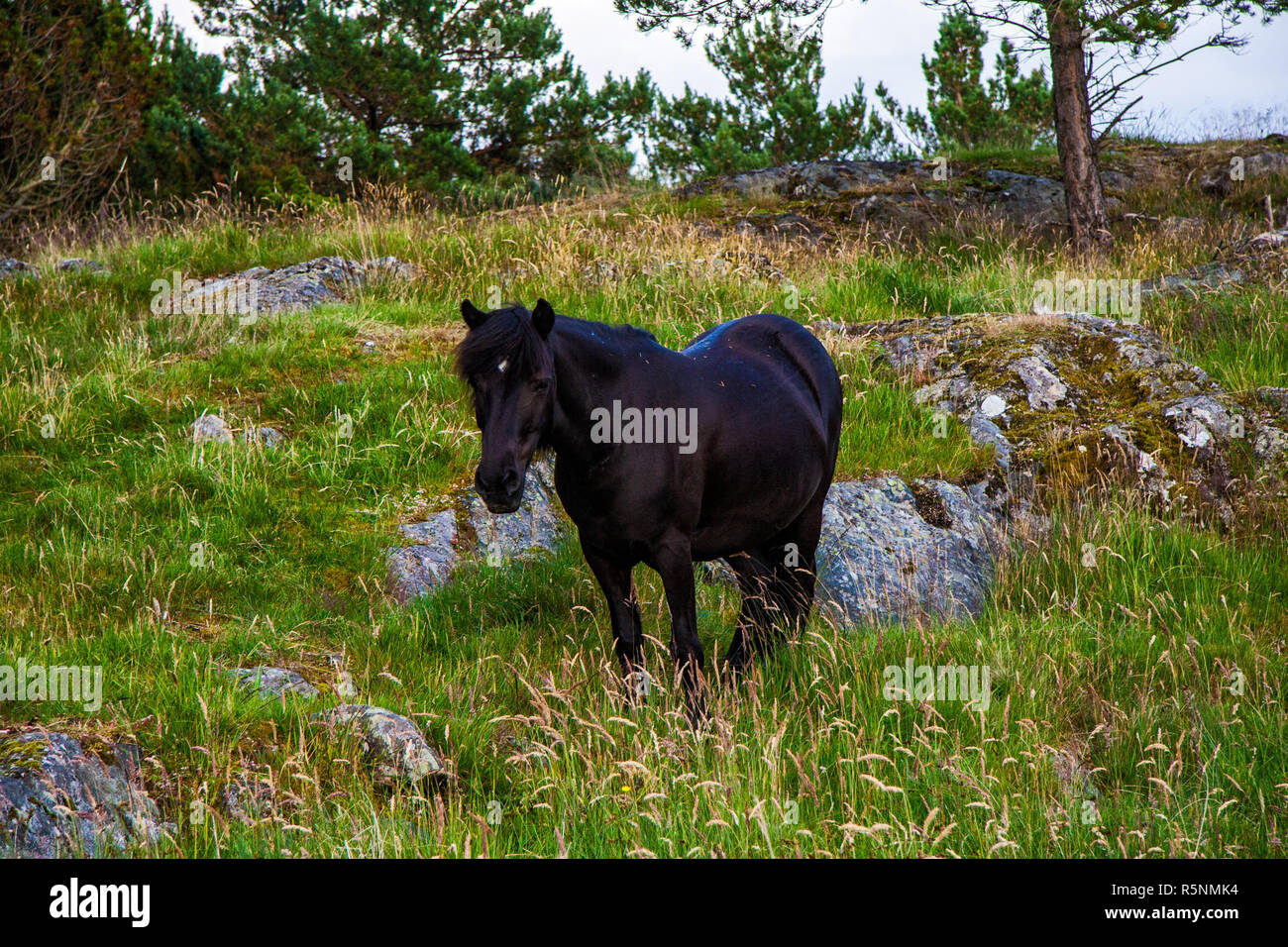 Black horse in wild - Stock Image