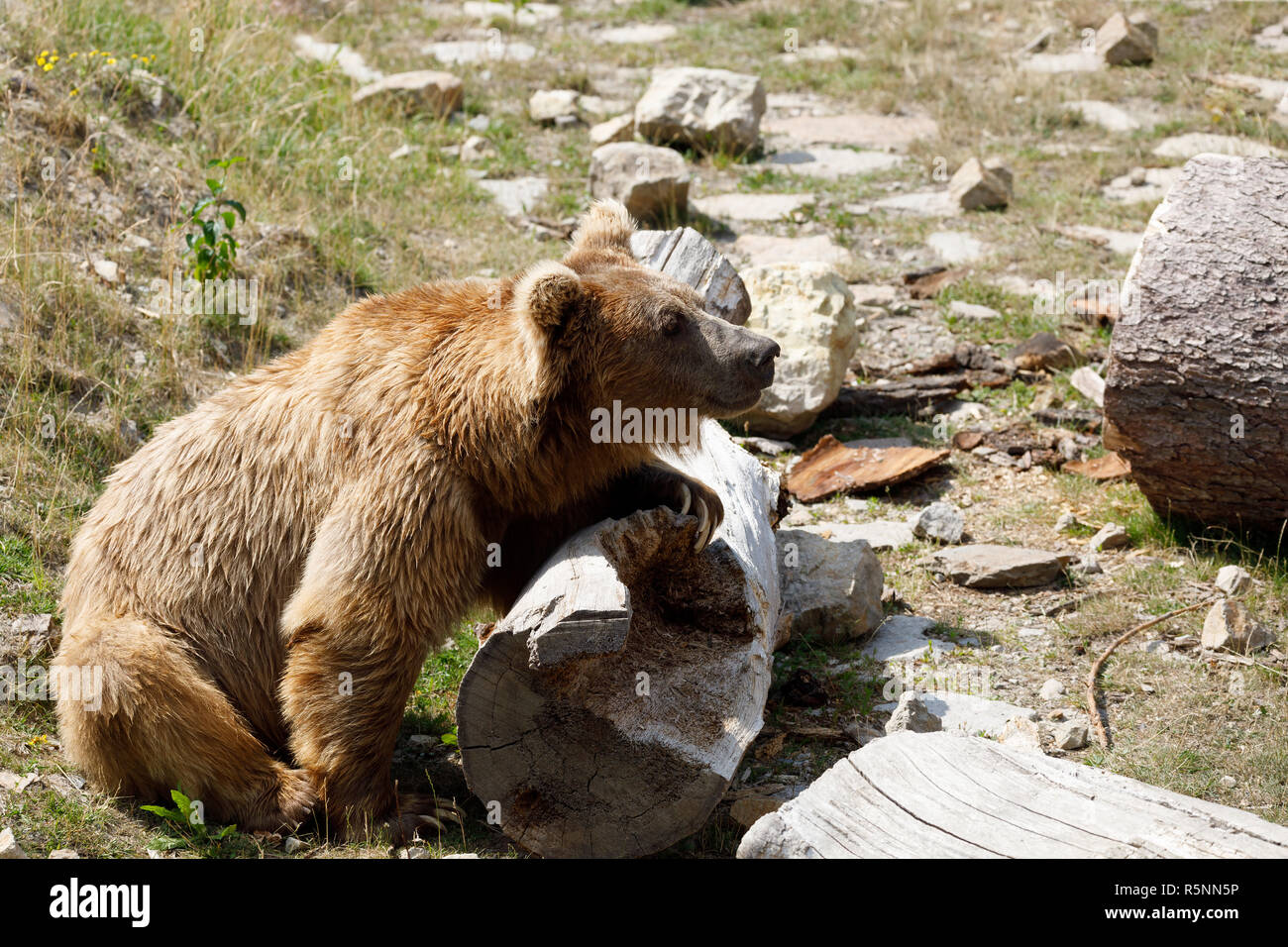 Himalayan brown bear (Ursus arctos isabellinus) Stock Photo