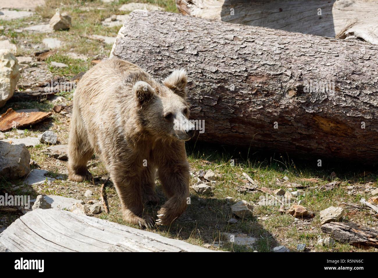 Himalayan brown bear (Ursus arctos isabellinus) Stock Photo