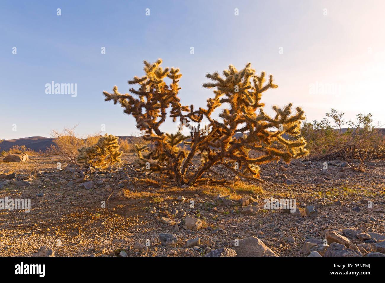 The cactus shrub called teddy-bear cholla at desert sunset. Cactus plant native to northwestern Mexico and to California, Arizona and Nevada, USA. - Stock Image