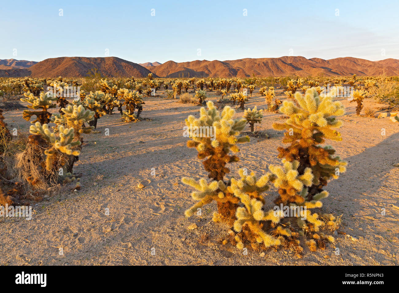 Cholla Cactus Garden surrounded by mountains chain at sunset in Joshua Tree National Park, California USA. Cactus garden landscape dominated by thorny - Stock Image
