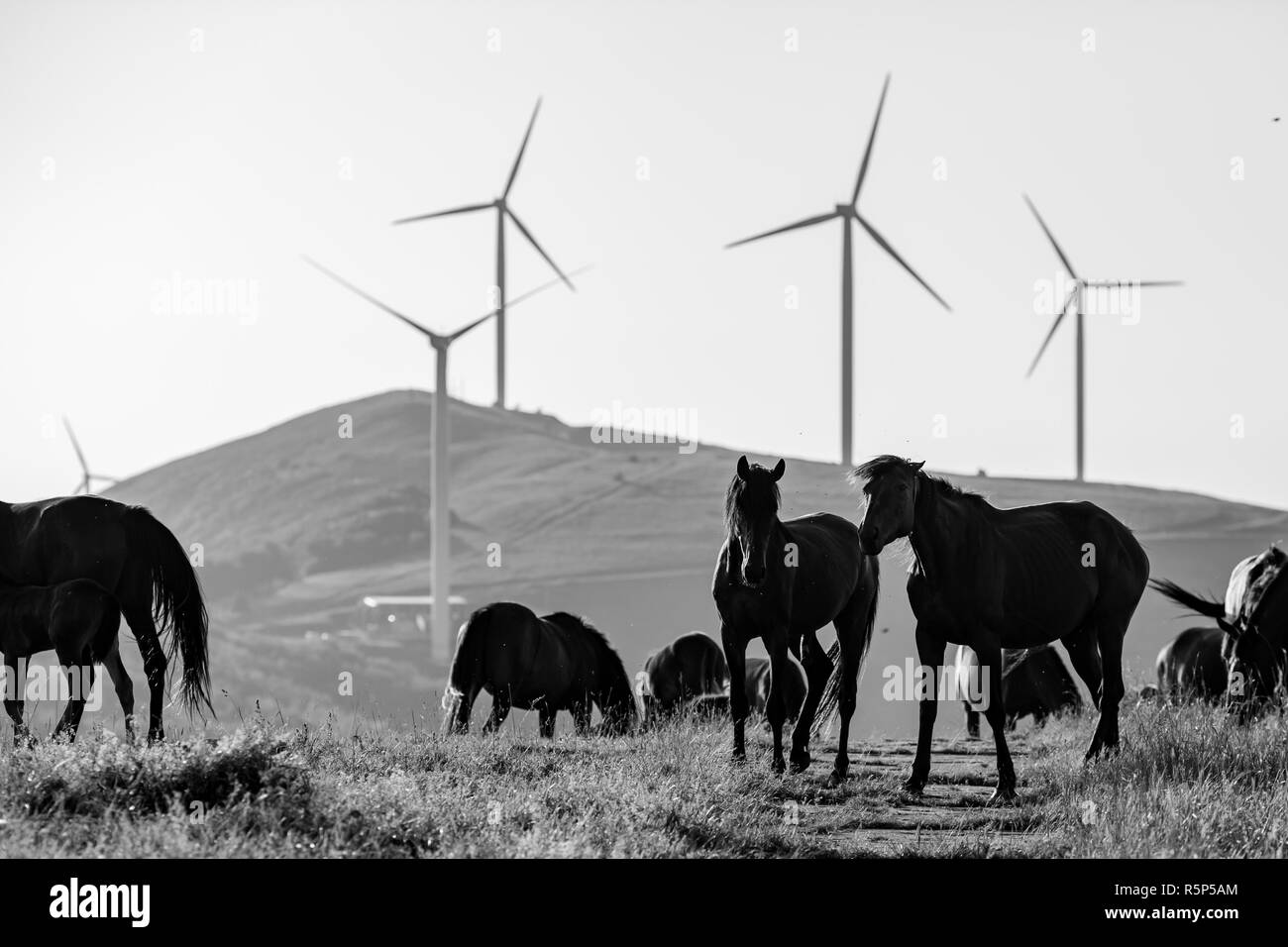 Two horses play in the early spring morning, part of herd, in black and white, free near Buzludzha Peak, Stara Planina mountain, Bulgaria - Stock Image