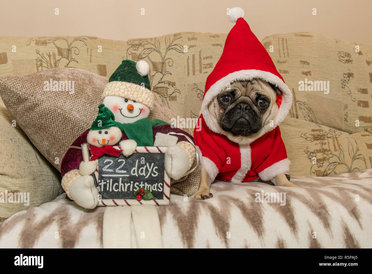 Mousehole, Cornwall, UK. 2nd December 2018. Titan the pug pup looking suitably enthusiastic about the fact that the run upto Christmas has started in earnest now, as of Monday there are only 22 days left to go until the big day. Credit: Simon Maycock/Alamy Live News - Stock Image