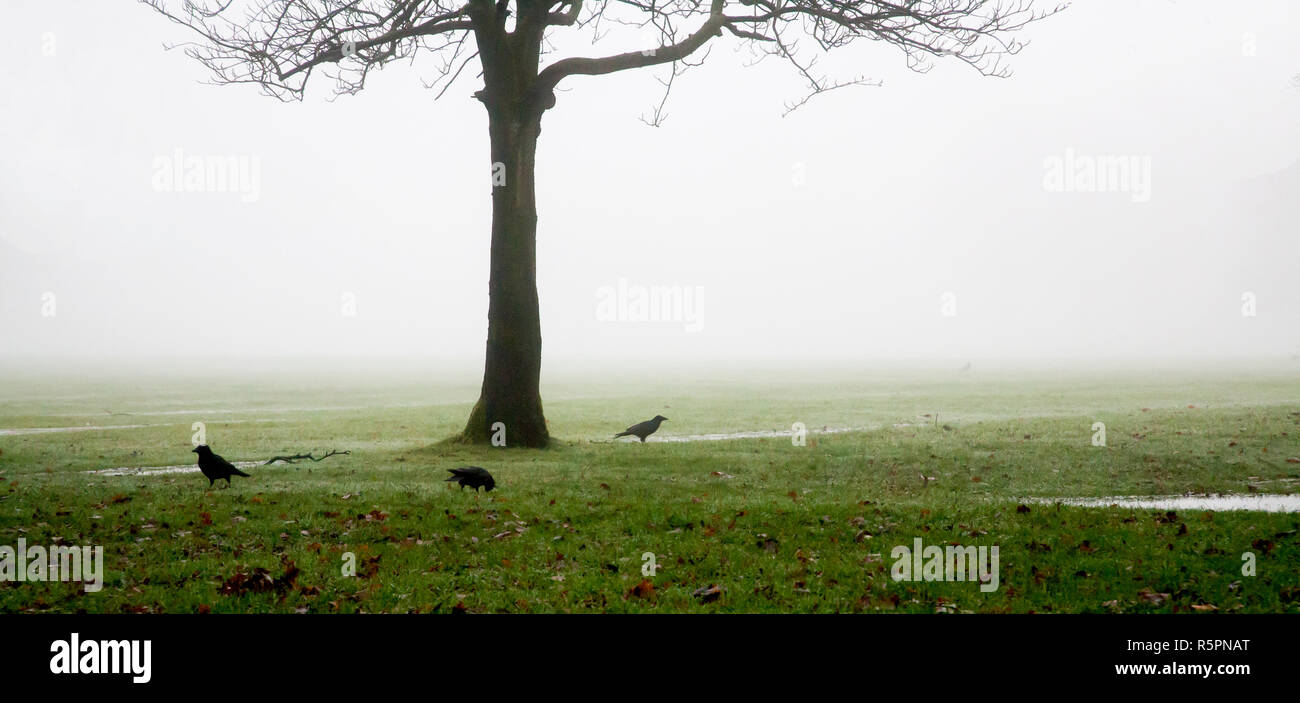 three black crows on the grass under a leafless winter tree, and behind them all fog in a spooky atmospheric soft ethereal picture with lots of space - Stock Image