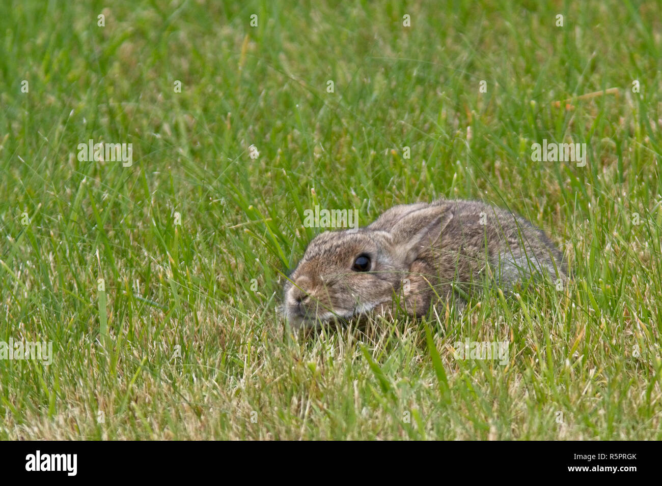 A European Rabbit (Oryctolagus cuniculus) crouched down in the grass, Bressay, Shetland, Scotland, UK. - Stock Image