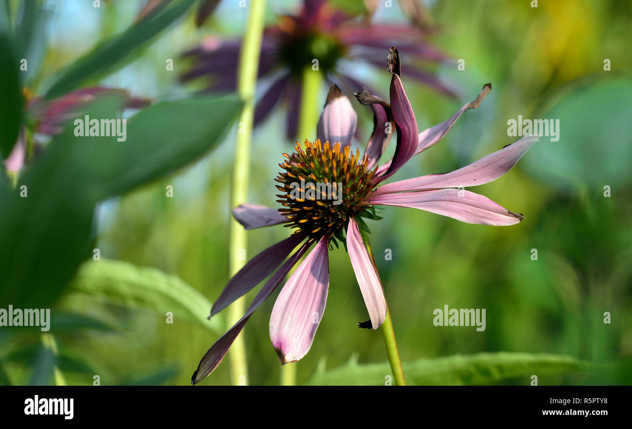 coneflower echinacea purpurea Stock Photo