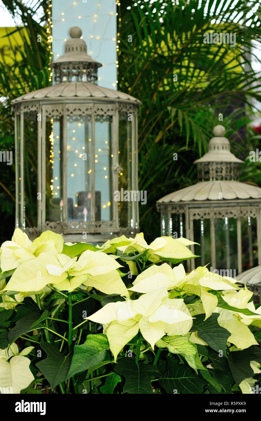 White Poinsettia plant with glitters - Stock Image