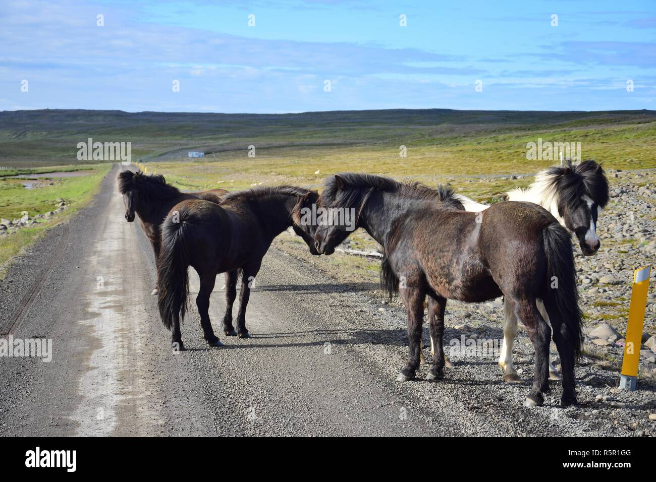 In remote parts of Iceland you may expect free running horses, even on the gravel road. Here is a group of horses standing on the road. - Stock Image