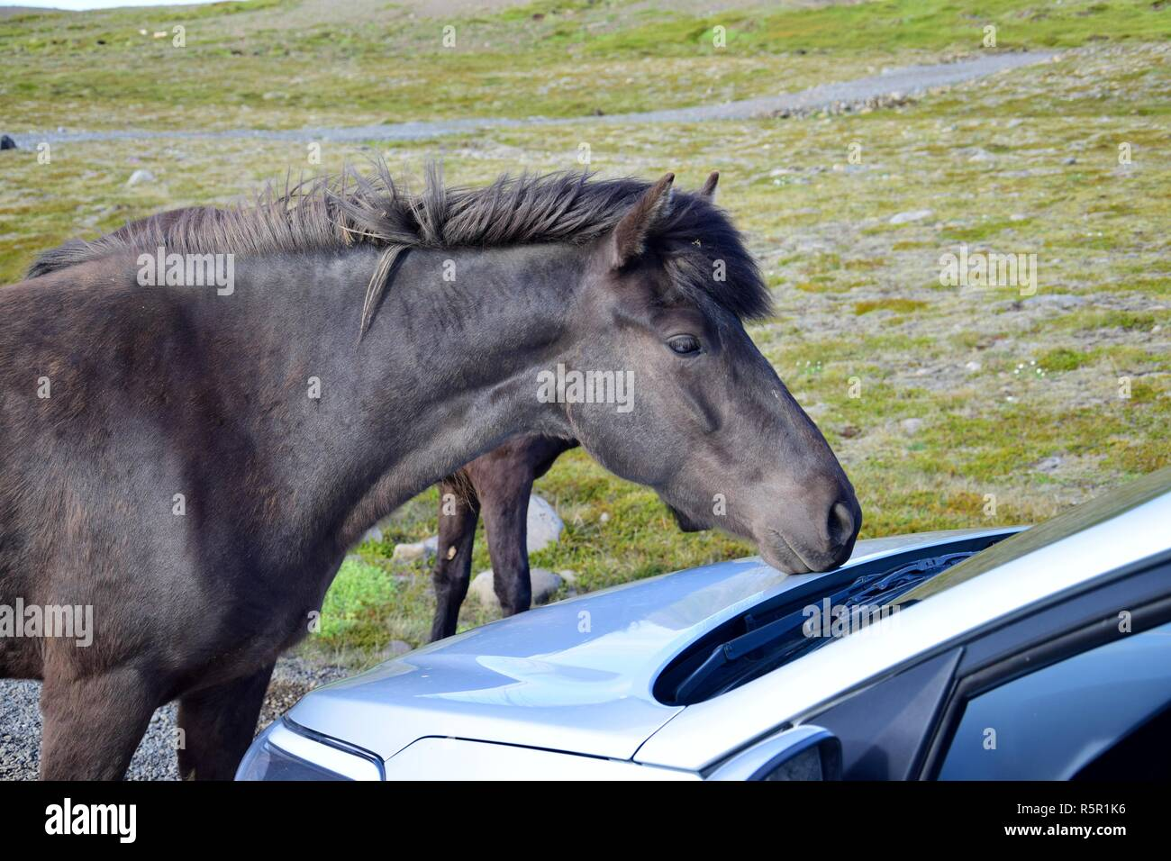 A black Icelandic horse on a gravel road in Iceland is curiously examining a car. A group of horses was free running in the north of peninsula Skagi. - Stock Image