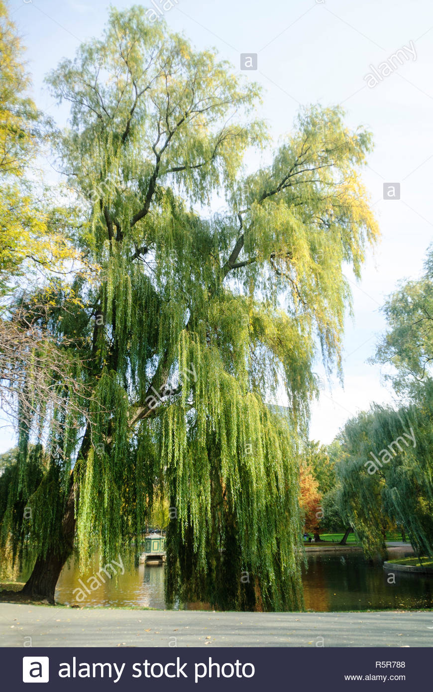 Huge weeping willow leans over pond on Boston Common Stock Photo