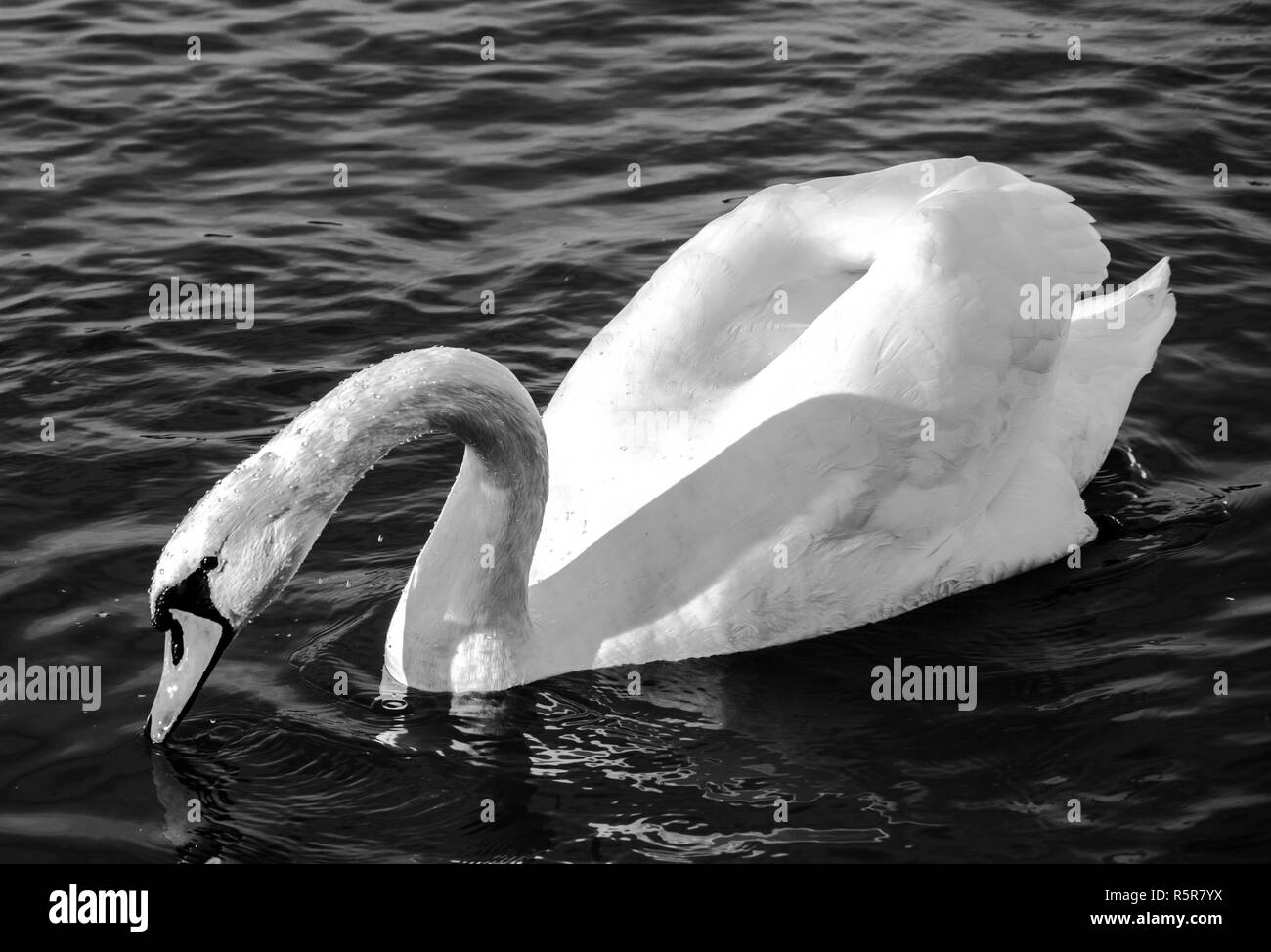 swan monochrome close-up  photo. Beautiful picture, background, wallpaper Stock Photo