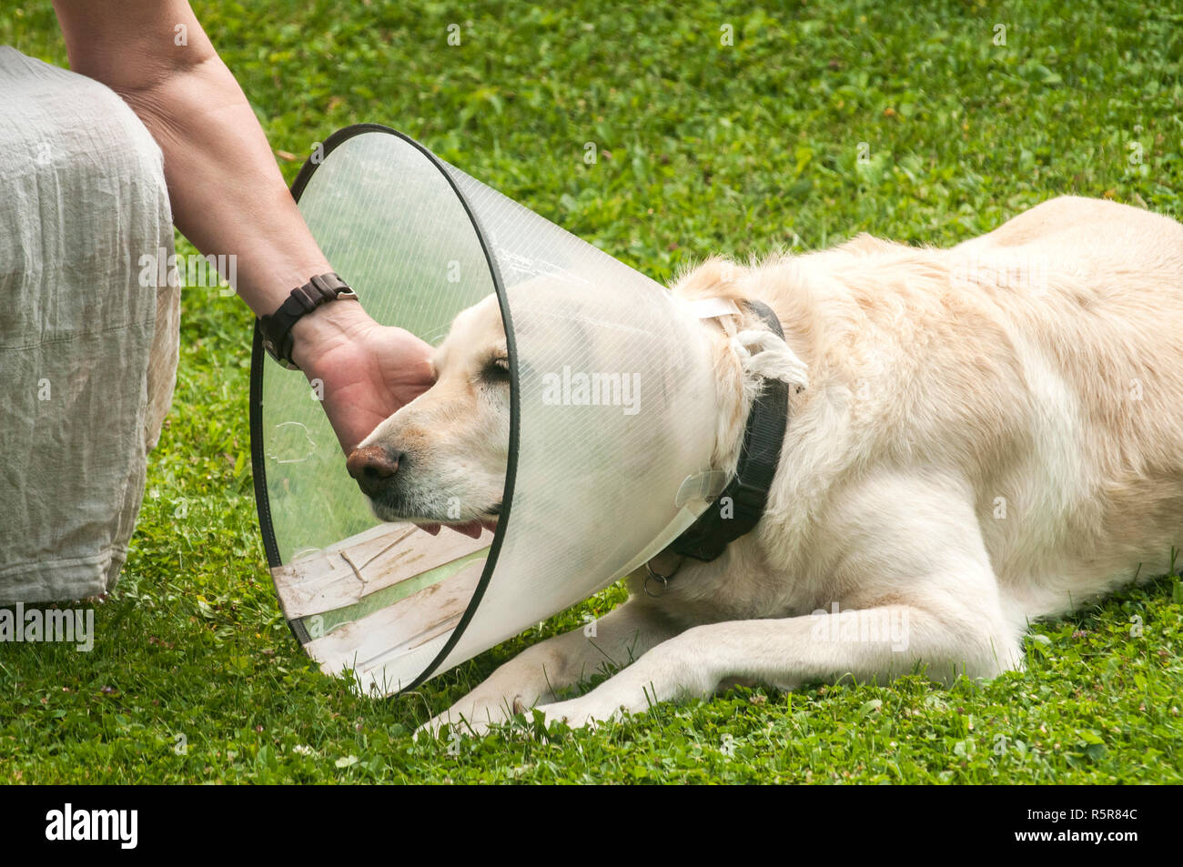 Women hand and female cream Labrador dog wearing Elizabethan plastic cone medical collar around neck for anti-bite wound protection on green grass mea - Stock Image
