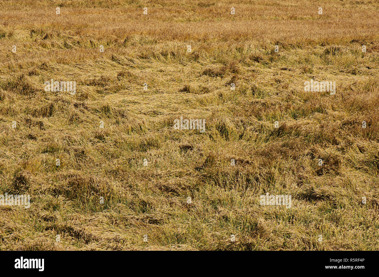 Crop insurance. Destroyed wheat lying on the wheat field - Stock Image