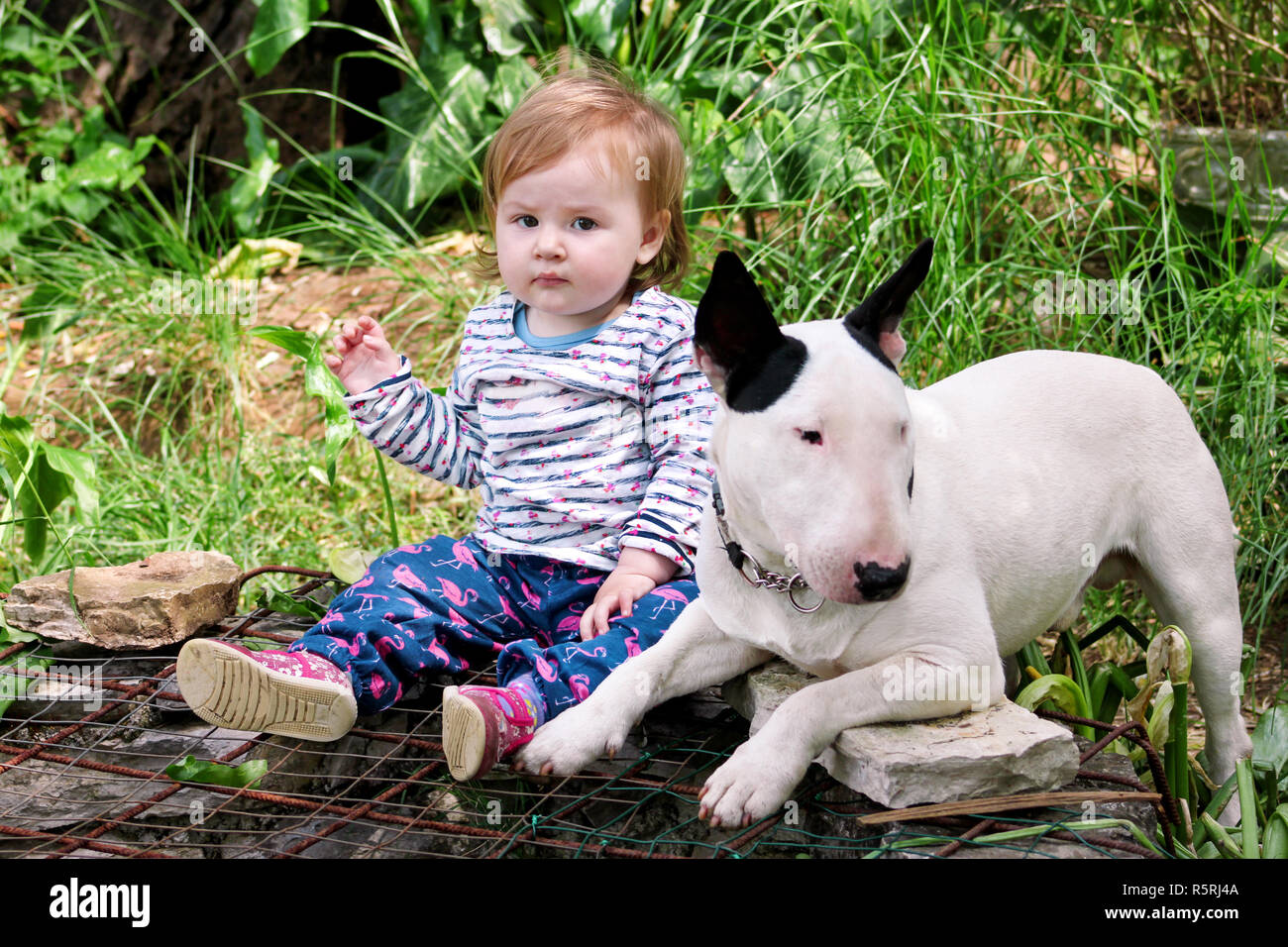 english bull terrier stock photos  u0026 english bull terrier stock images