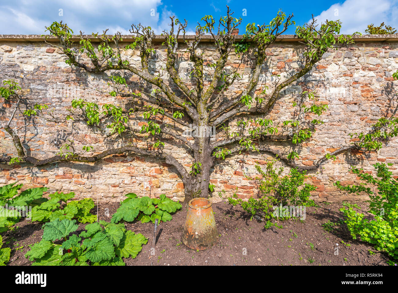 A beautiful example of a cordoned fruit tree against a red brick wall on an allotment in Somerset, England. - Stock Image