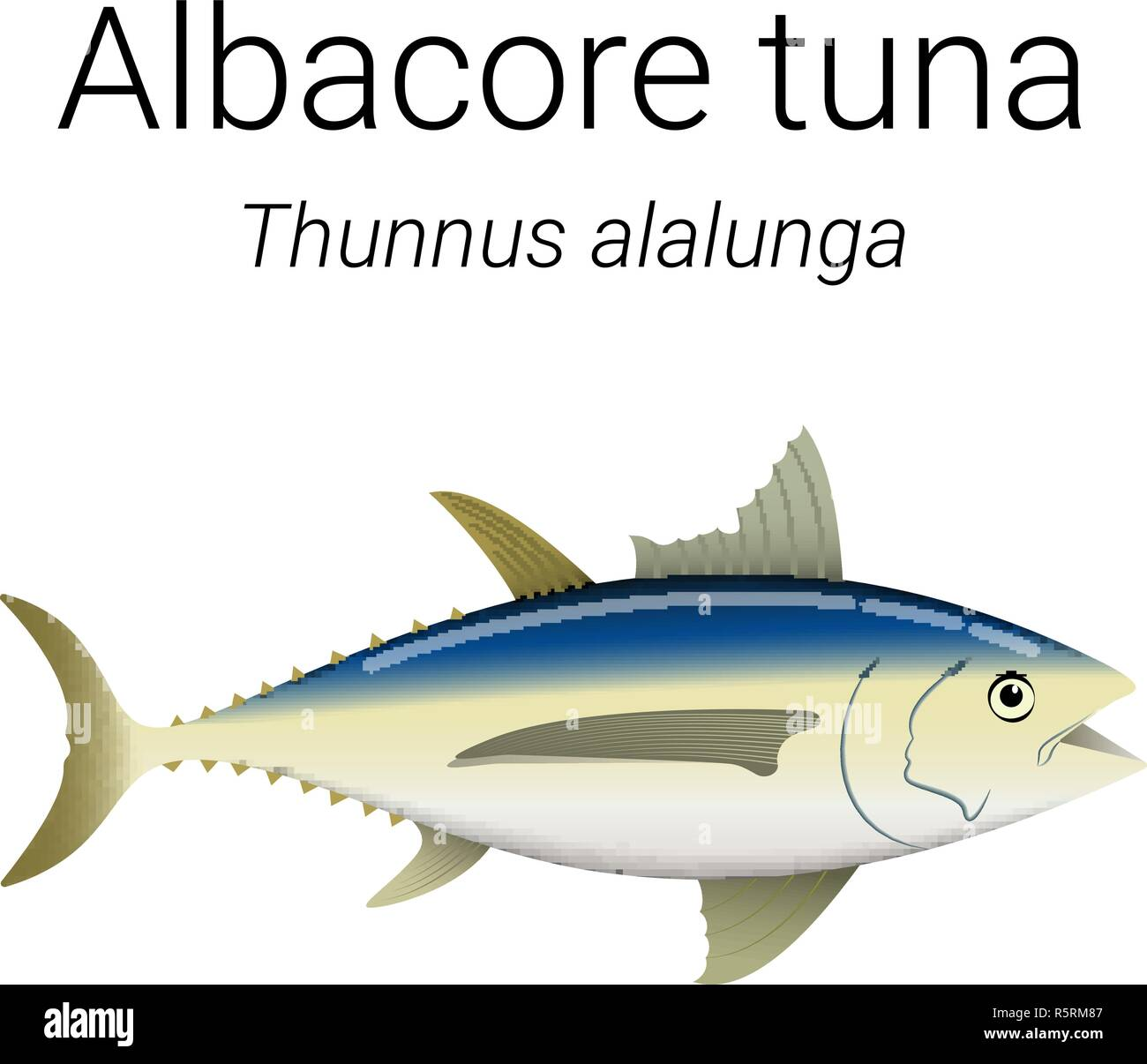 Albacore tuna - large migratory fish found throughout Pacific and Indian  Oceans illustration - Stock Vector