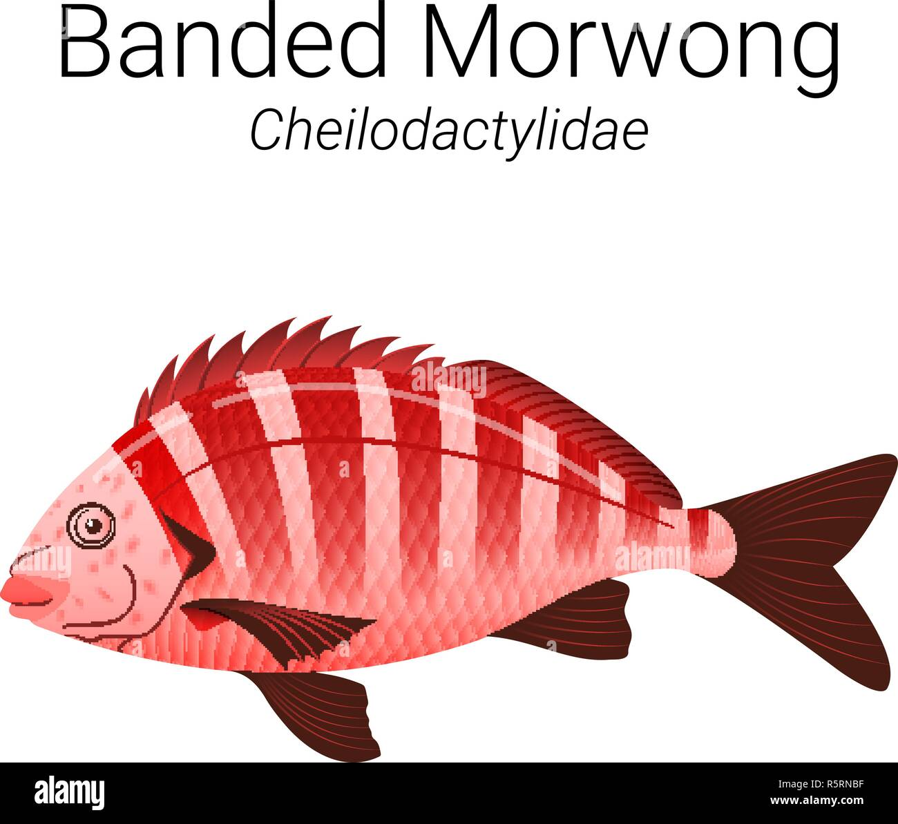 Banded Morwong Stock Photos & Banded Morwong Stock Images