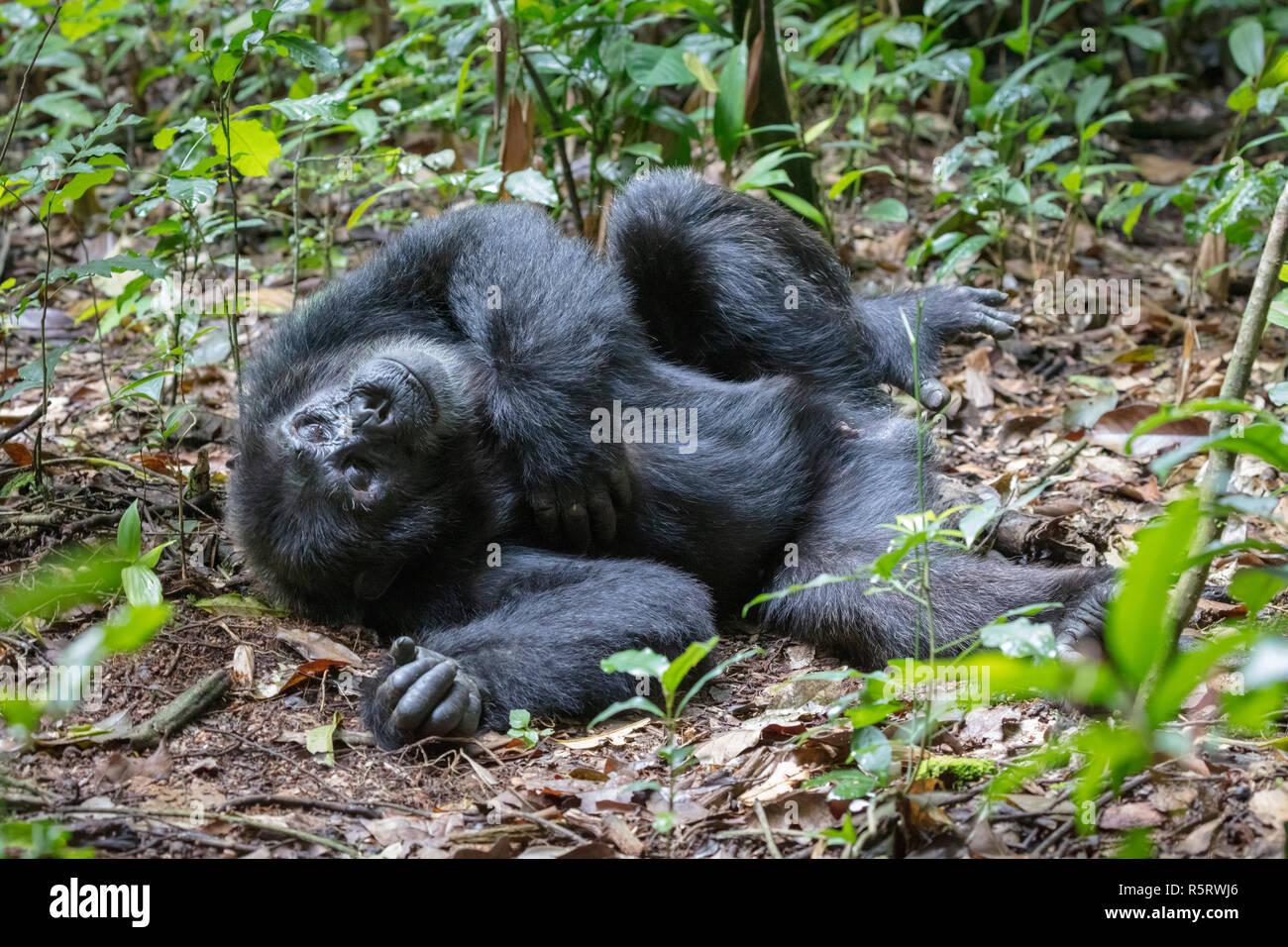 Chimpanzees at Kibale National Forest, Uganda - Stock Image