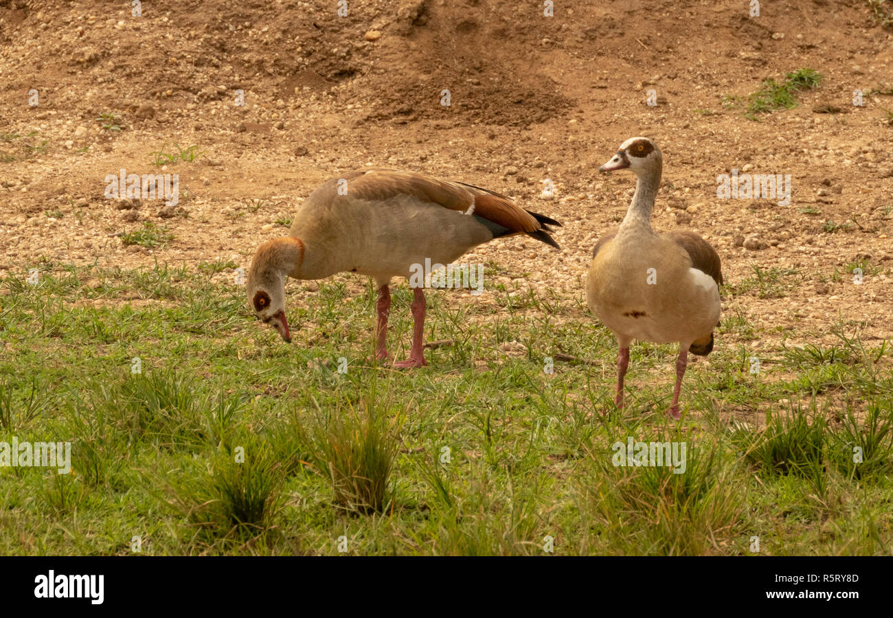 Egyptian geese, Alopochen aegyptiaca, a member of the duck, goose, and swan family Anatidae, at Kazinga Channel. Queen Elizabeth National Park, Uganda - Stock Image