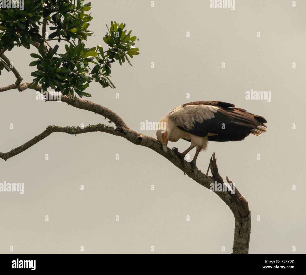 The palm-nut vulture (Gypohierax angolensis) or vulturine fish eagle, at Kazinga Channel. Queen Elizabeth National Park, Uganda, East Africa - Stock Image