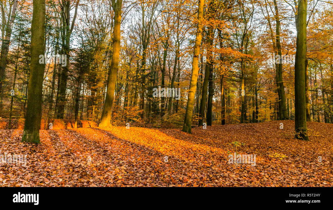 Forest in National Park de Hoge Veluwe in the Netherlands in beautiful golden autumn colours and sunbeams just before sunset during golden hour - Stock Image