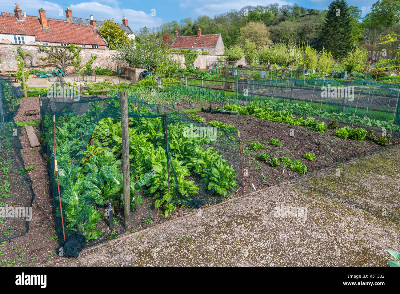 A well tended springtime vegetable plot growing chard, spinach and lettuce on an allotment in Somerset, England - Stock Image
