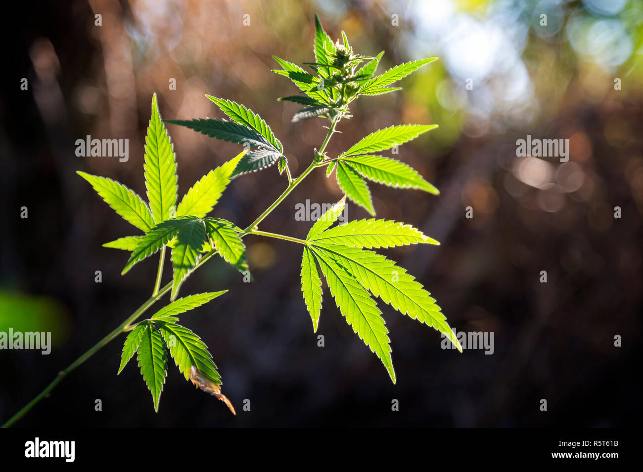 Cannabis plant with sunlight on the meadow - Stock Image