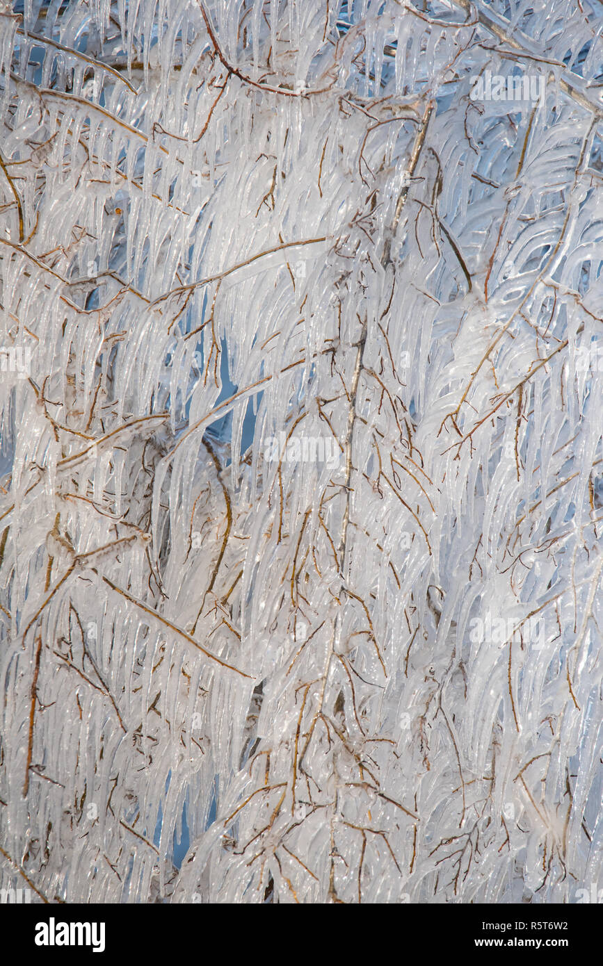 Icicle-covered branches at Humber Bay in Toronto, Ontario, following a winter ice storm. - Stock Image