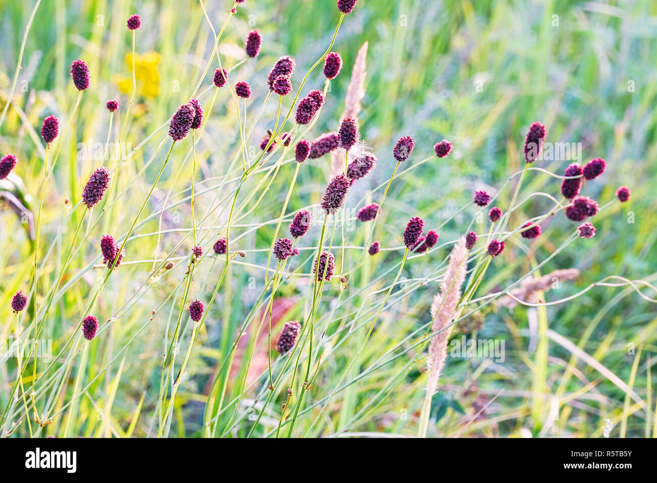 Blooming flowers of Burnet on the natural background in the meadow - Stock Image