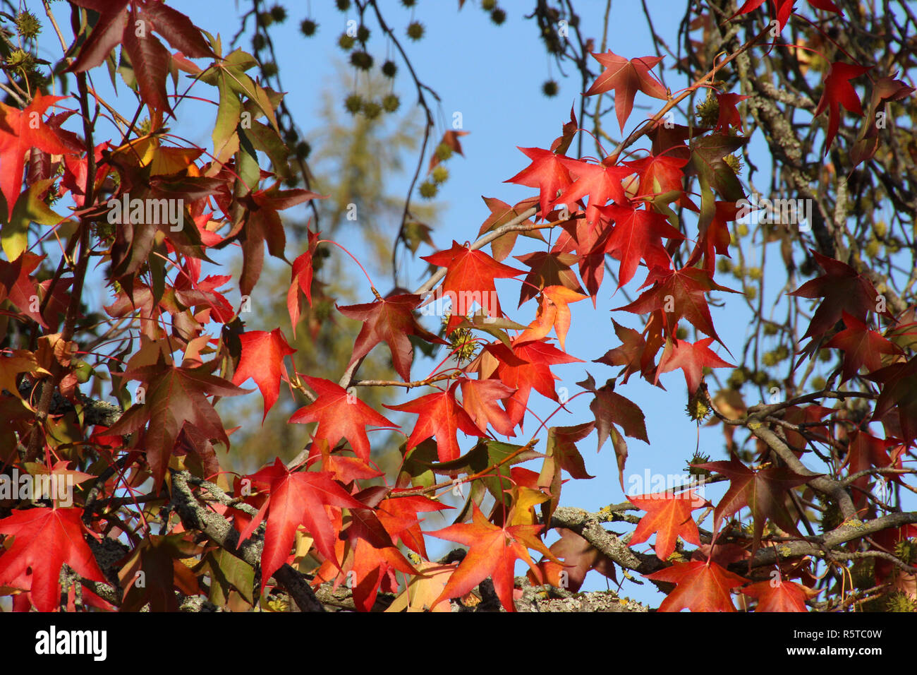 leaves of an american sweet gum - Stock Image