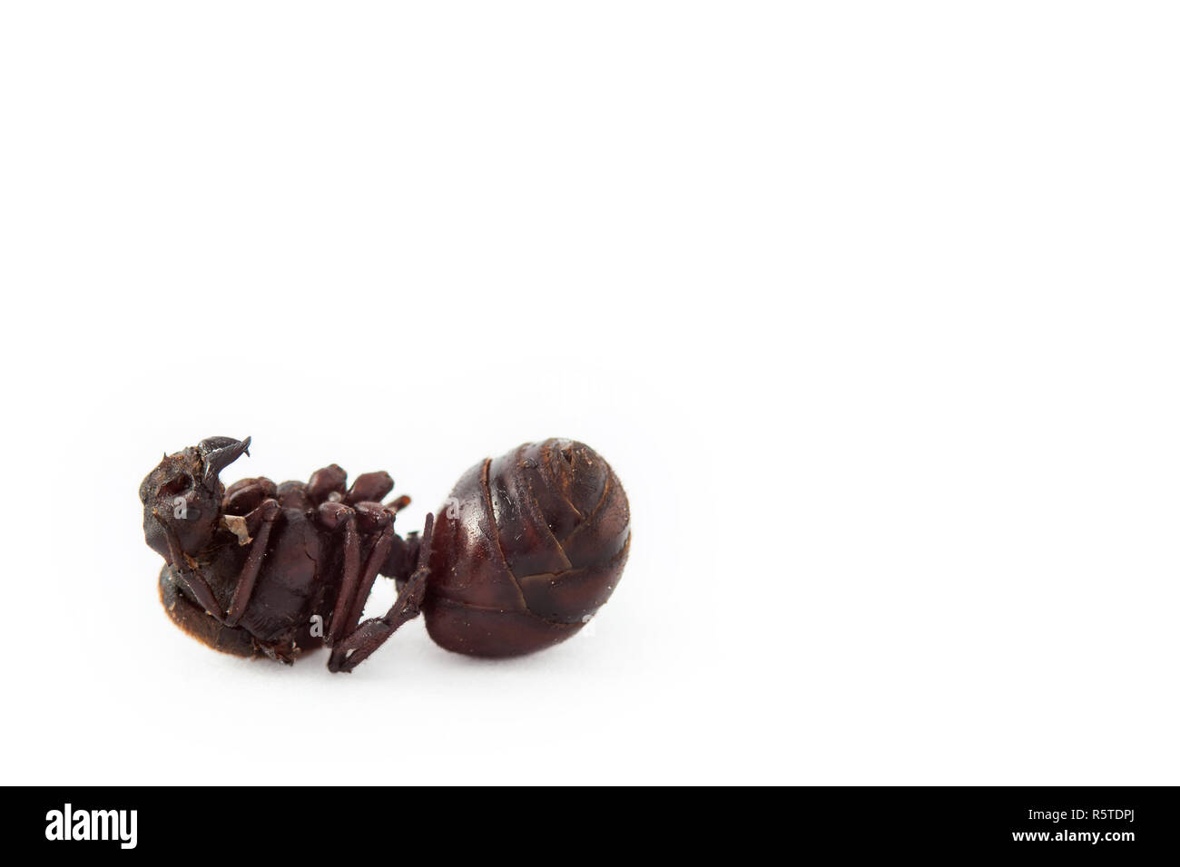 Edible ant traditional from Santander region of Colombia called Hormiga  Culona which literally translated in english