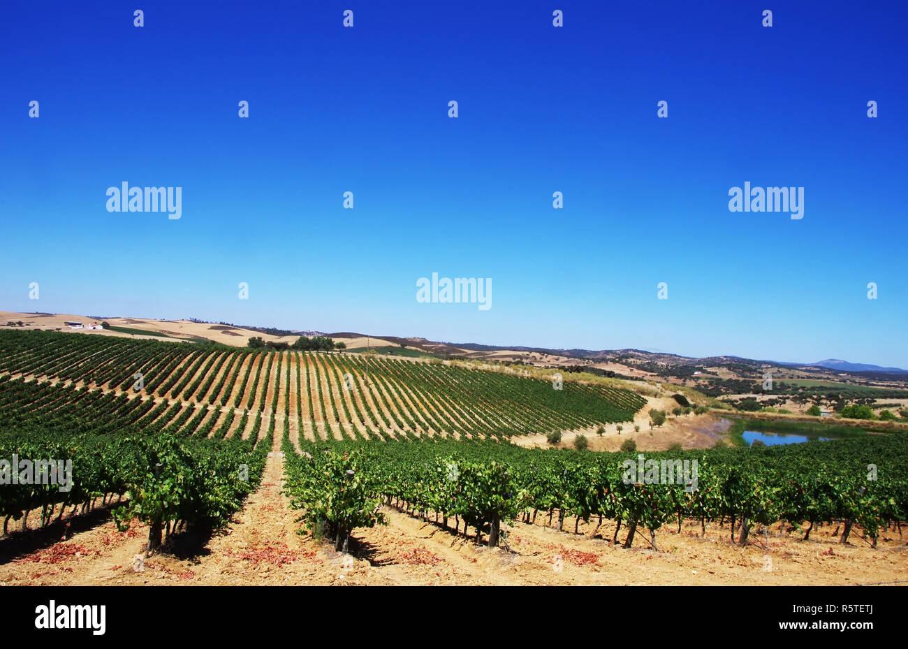 Vineyard at Alentejo region, south of  Portugal. Stock Photo