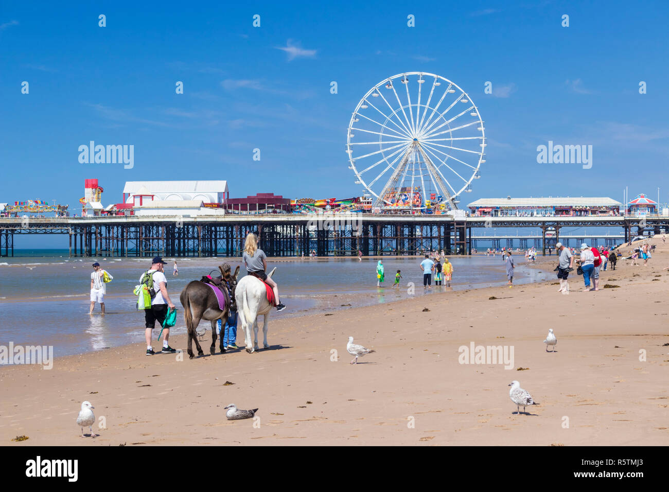 Blackpool uk Donkey rides on the beach in front of the Ferris wheel on the central pier Blackpool Lancashire England UK GB Europe Stock Photo