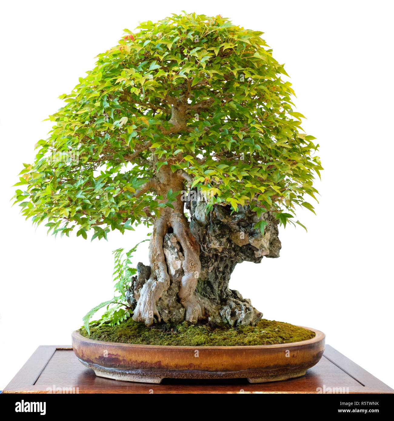 Trident Maple Acer Buergerianum As A Bonsai Tree Over A Rock Stock