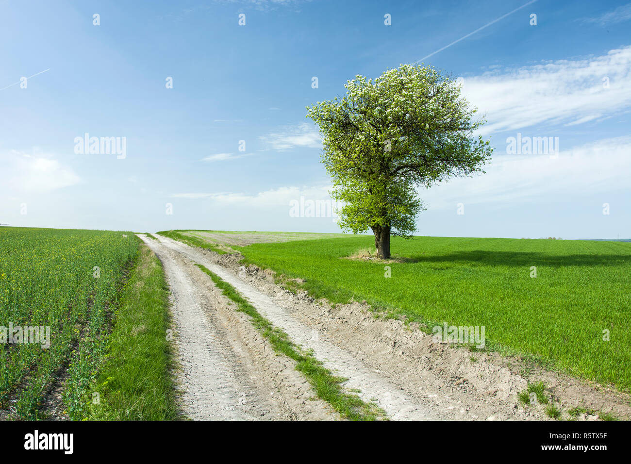 Large flourishing deciduous tree by the road in a green field, horizon and clouds on blue sky - Stock Image
