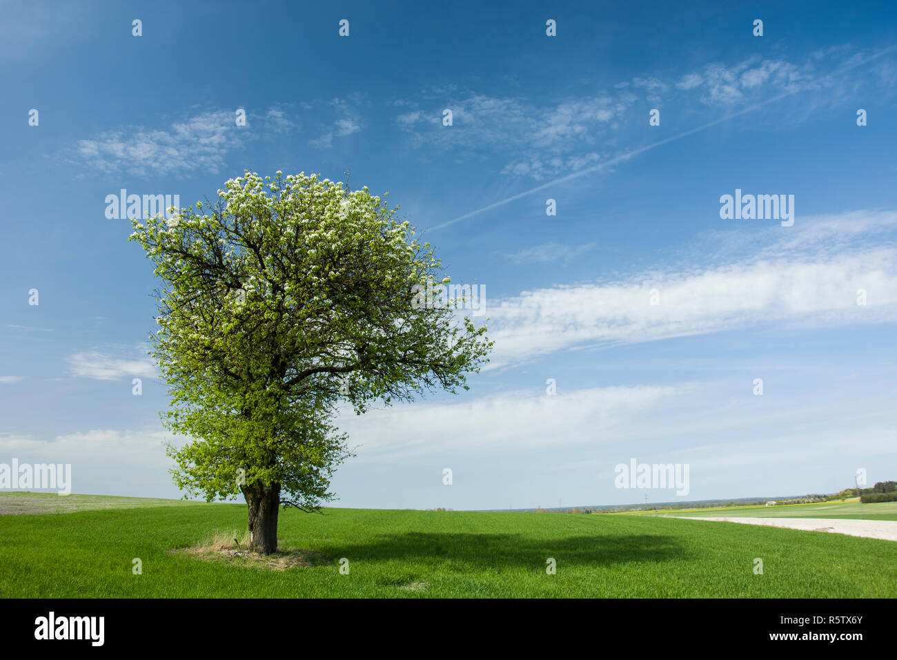 Large flourishing deciduous tree in a green field, horizon and clouds on blue sky - Stock Image