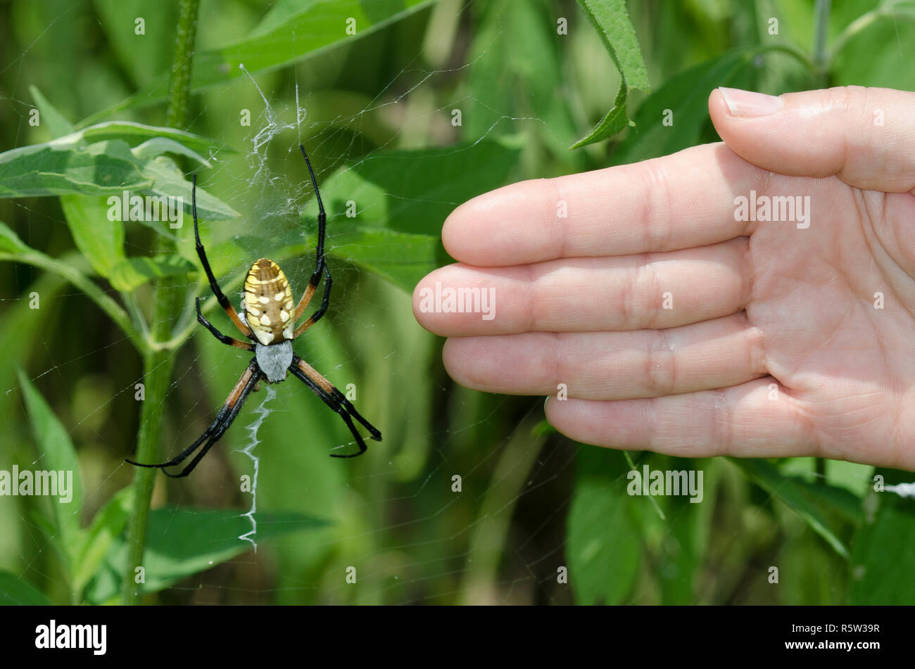 Stabilimentum Stock Photos \u0026 Stabilimentum Stock Images , Alamy