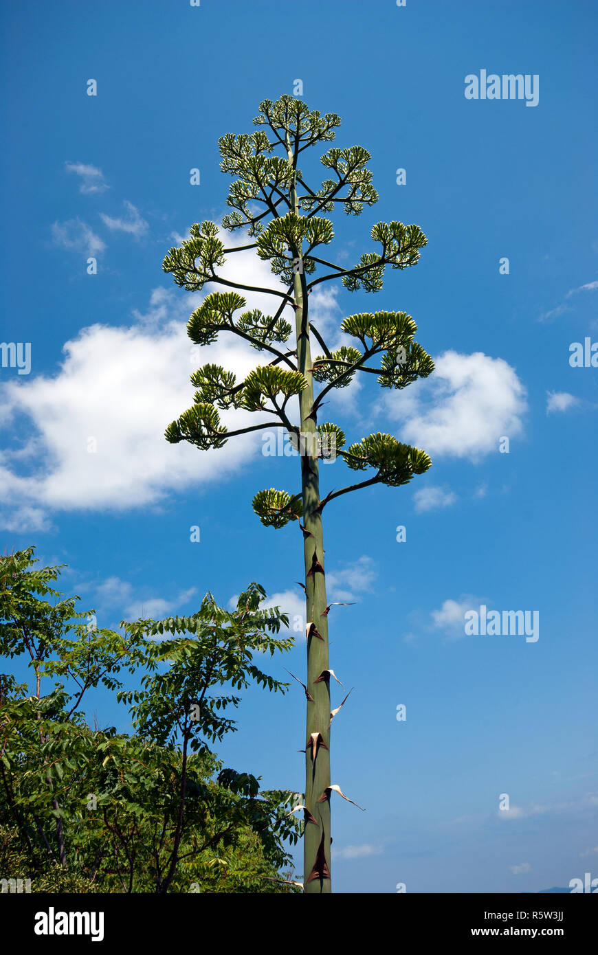 American agave flowering (Agave americana), maguey, promontoty of Argentario, Grosseto, Tuscany, Italy - Stock Image