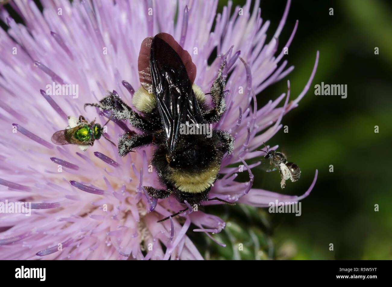 American Bumble Bee, Bombus pensylvanicus,  and two Sweat Bees, Family Halictidae, on tall thistle, Cirsium altissimum - Stock Image
