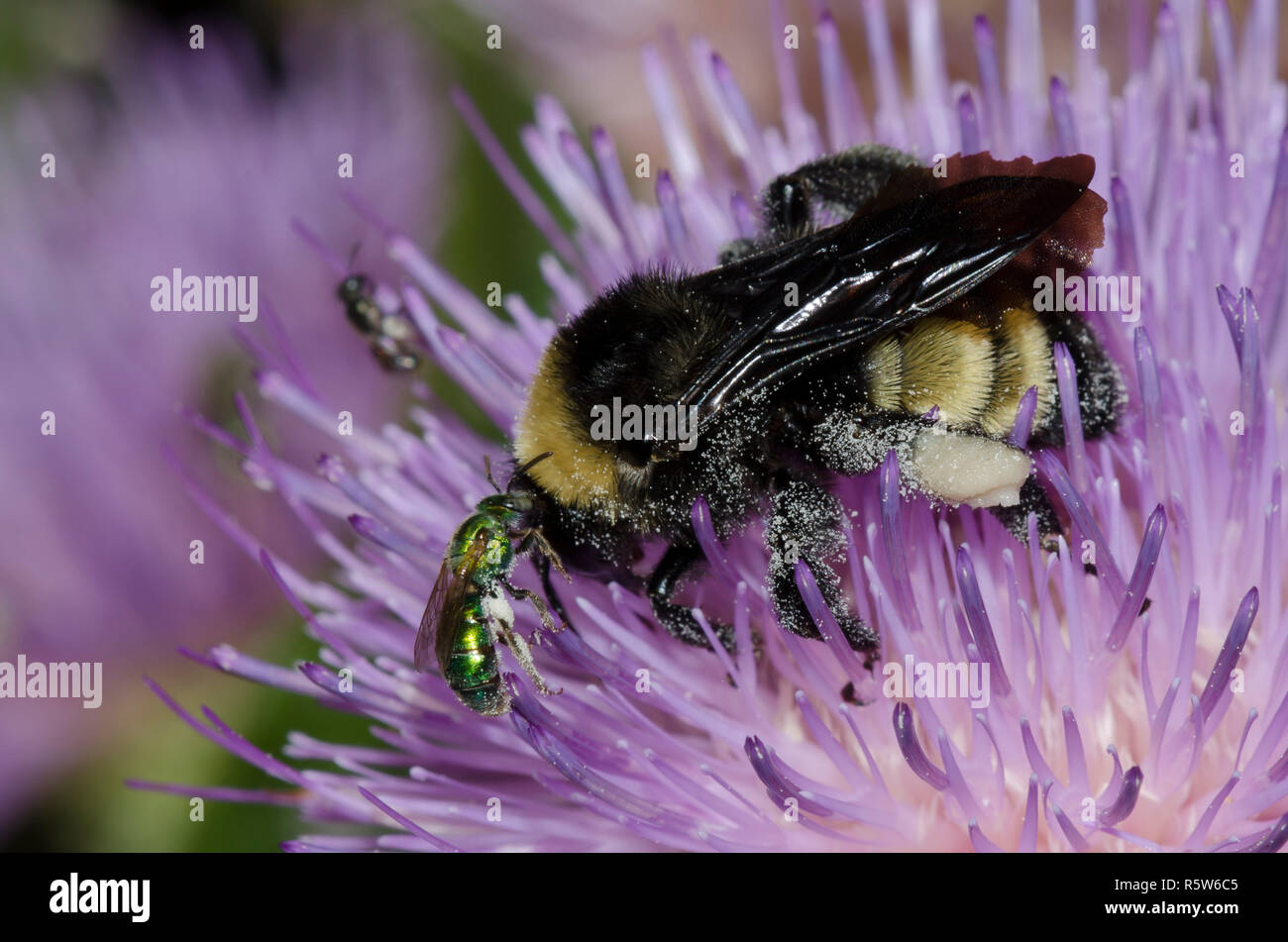 American Bumble Bee, Bombus pensylvanicus,  and Sweat Bee, Family Halictidae, on tall thistle, Cirsium altissimum - Stock Image