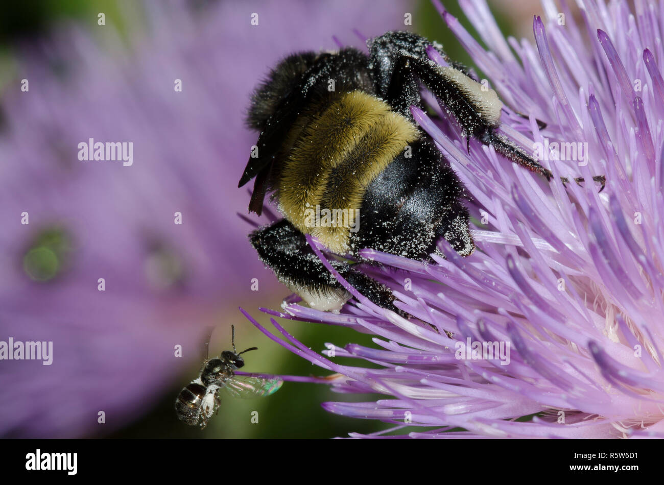 American Bumble Bee, Bombus pensylvanicus,  and Sweat Bee, Family Halictidae (in flight), on tall thistle, Cirsium altissimum - Stock Image