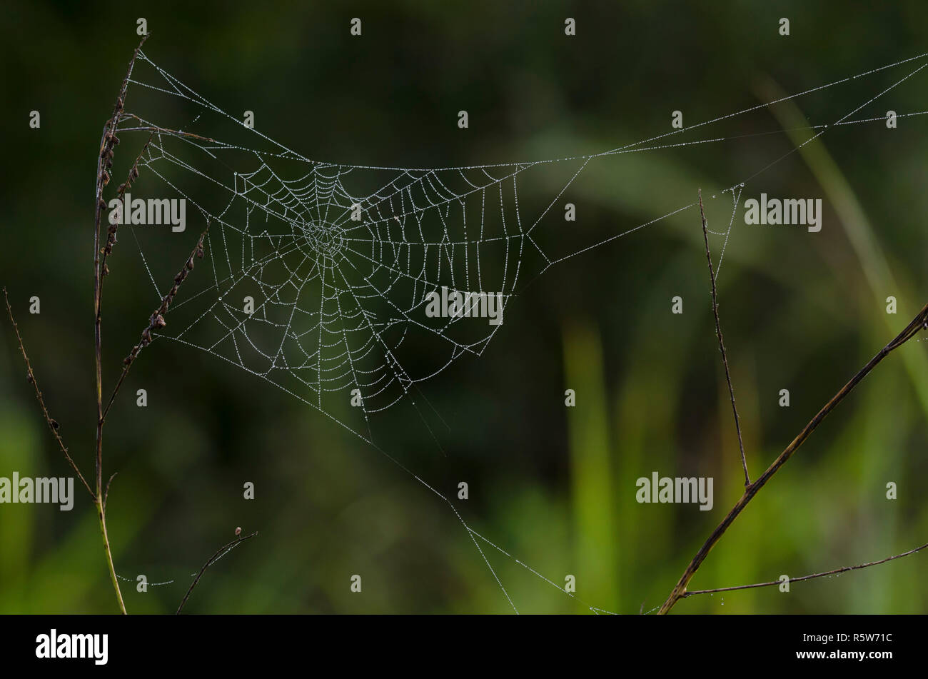 Orb Web, Family Araneidae, with dew - Stock Image