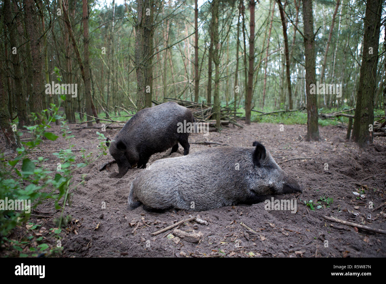 two boars in the forest - Stock Image