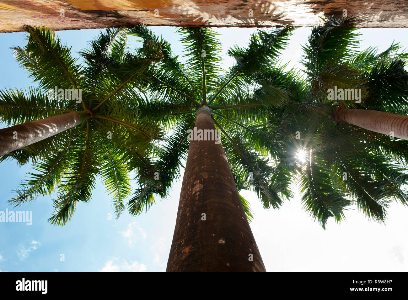 Royal palm trees from below angle. Tropical details in the old town of Cartagena de Indias, Colombia. Oct 2018 - Stock Image