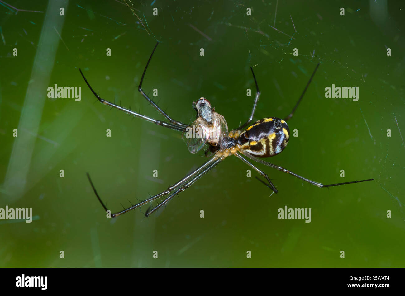 Sheetweb Spider, Subfamily Linyphiinae, with prey Stock Photo
