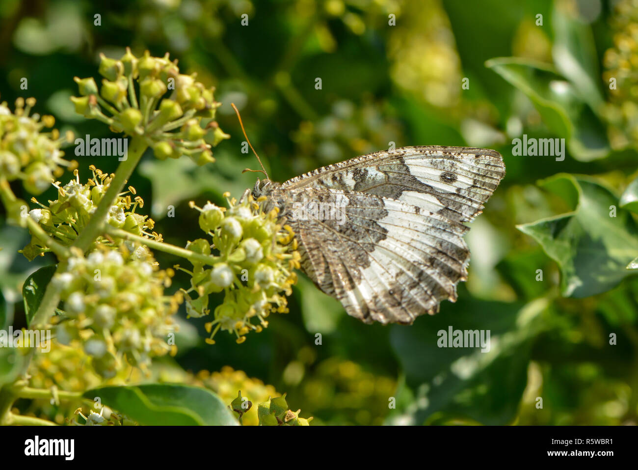 white forest porter on ivy flower - Stock Image