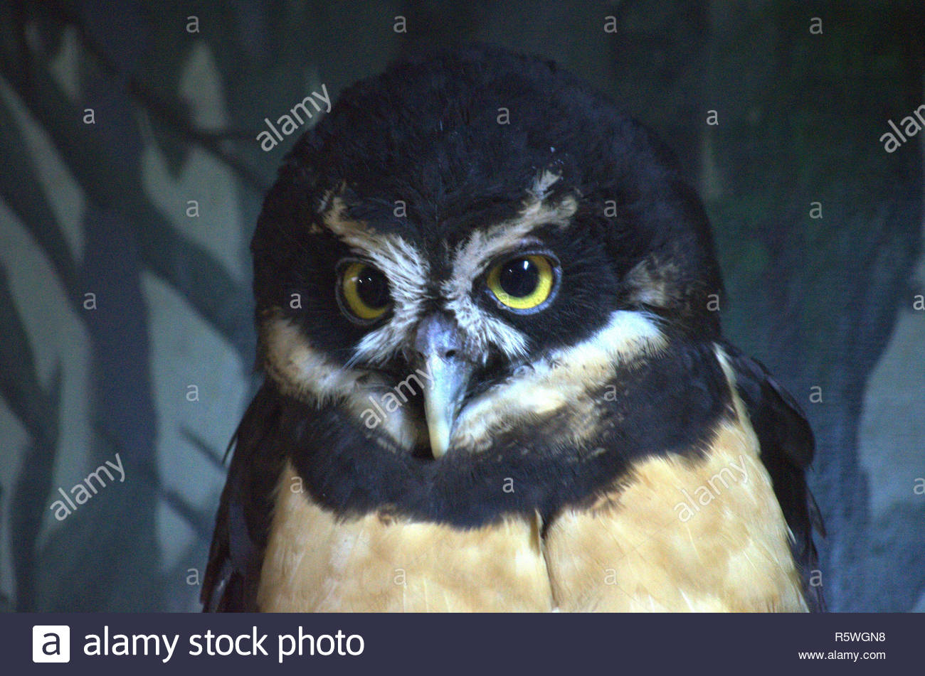 Spectacle Owl at zoo - Stock Image